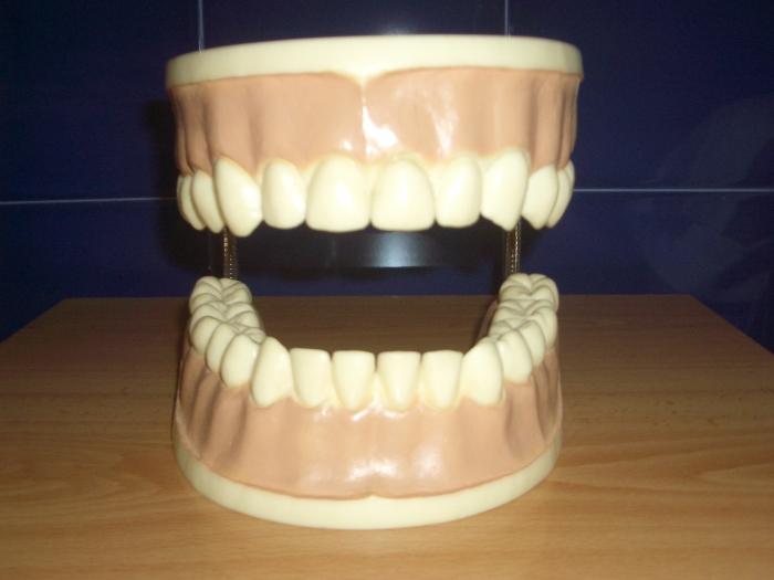 14. Dentición permanente