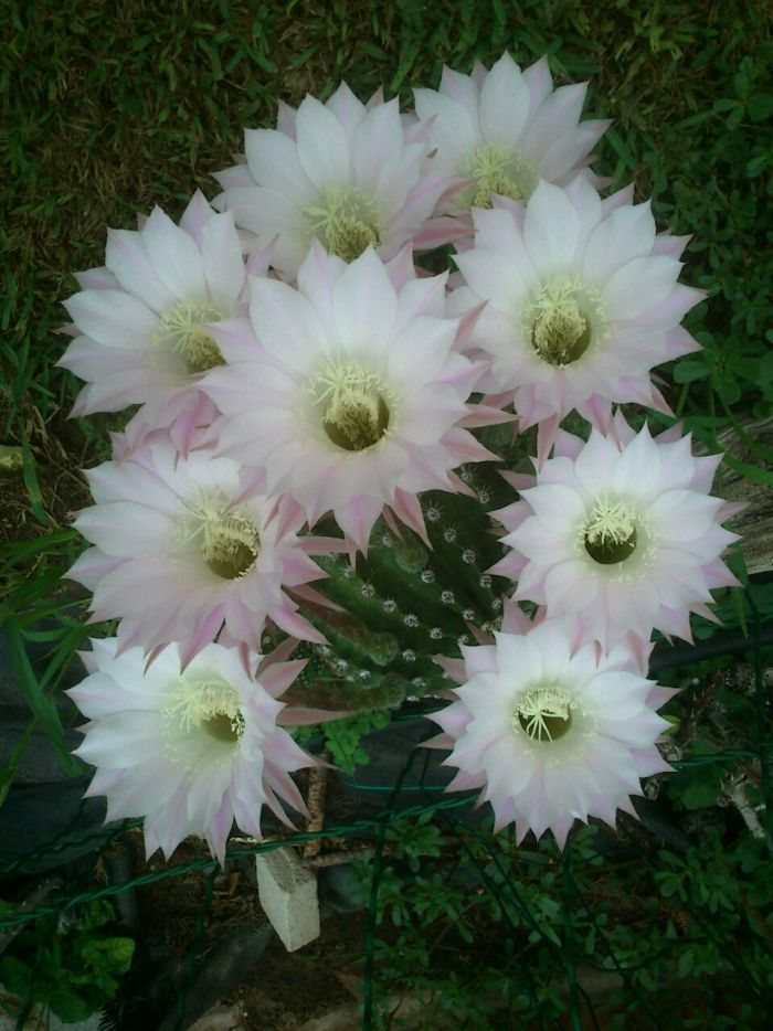 21. Cactus