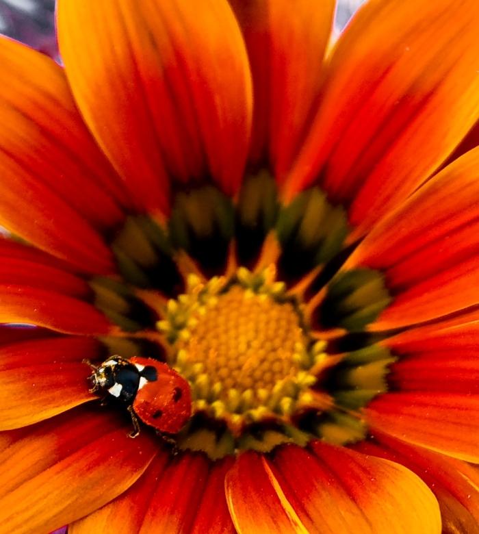 Menos es más. Su nombre científico es Coccinella. Pero se le conoce como mariquita, vaquita de San Antonio, chinita, sarantantón, catarina… Llámala como quieras. Un depredador minúsculo. Entre 40 y 50 pulgones al día son engullidos por estos simpáticos y bonitos insectos. Son auténticos controladores biológicos. Además, inofensivos para los seres humanos y el medio ambiente. Por eso los utilizamos contra las plagas en los cultivos. Muchas veces lo más pequeño es lo más interesante.