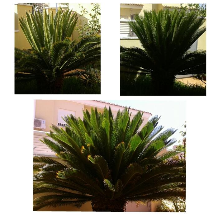 Crecimiento de palmera. Crecimiento de una palmera hembra a lo largo de tres semanas. La primera imagen es del 15 de junio, la segunda del 21 y la tercera del 29.