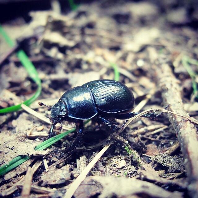 7. Escarabajo polaco