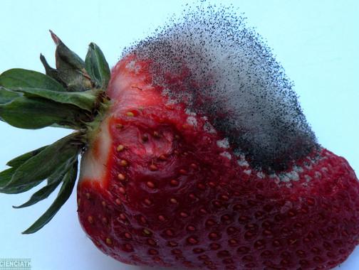 Levaduras-naturales-inhiben-la-formacion-de-mohos-en-la-fruta_image_380