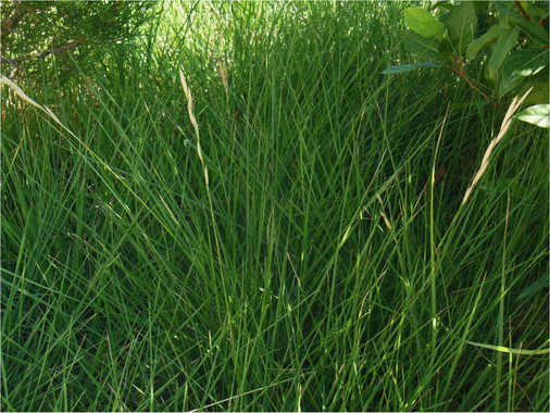 como-transformar-el-trigo-la-cebada-y-el-centeno-en-plantas-perennes_image_380