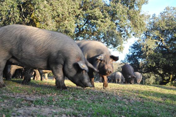 espana-expectante-ante-el-fin-de-la-castracion-del-cerdo-iberico_image_380