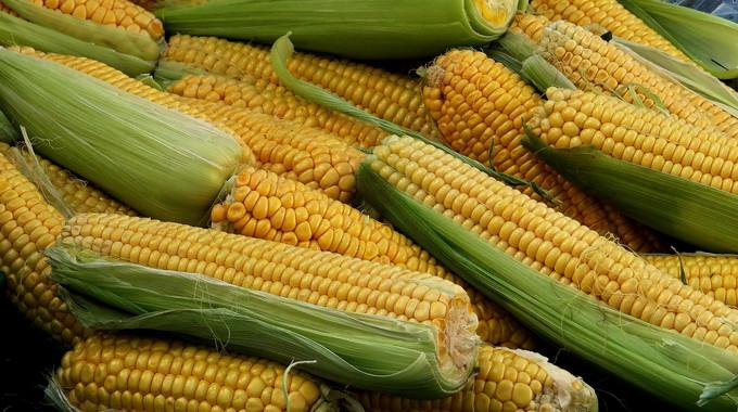 los-biofertilizantes-de-los-lodos-de-depuradoras-mejoran-el-cultivo-del-maiz_image_380
