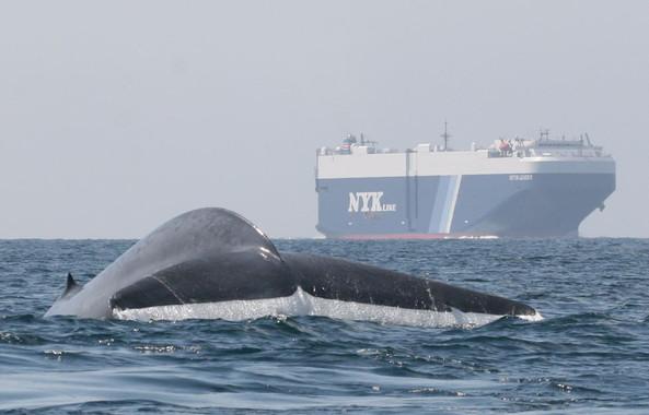 un-rastreador-de-ballenas-azules-evita-que-choquen-contra-los-buques_image_380