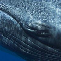 El canto de la ballena solitaria