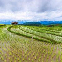 Cultivar arroz en agua salobre