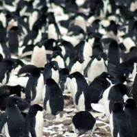 Un millón y medio de pingüinos